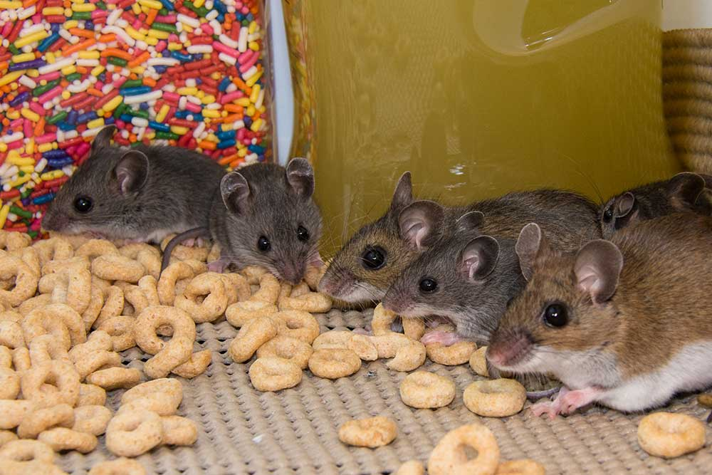 8 Ways Of How To Get Rid Of Mice In Your House: Mice Infestation