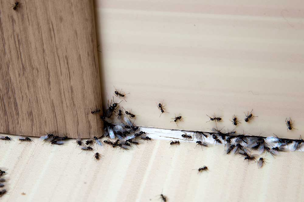 Ant Infestation: What Are The Four Most Effective Ways Of Dealing With Ants?